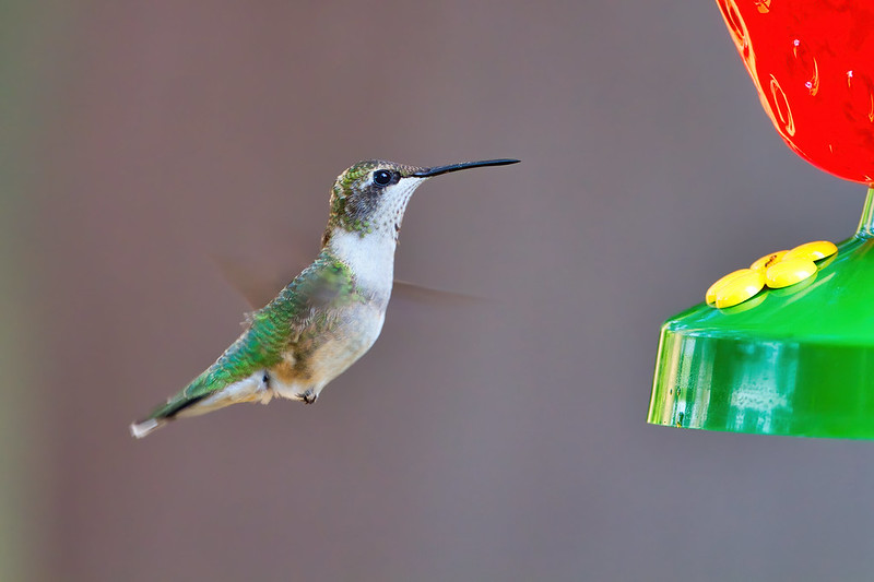 Ruby-throated Hummingbird At My Feeder