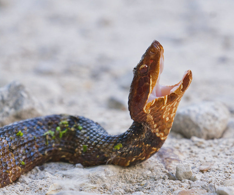 Upset Young Water Moccasin