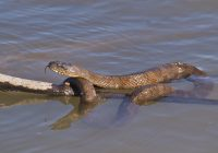 Water Snake Draped Over Limb