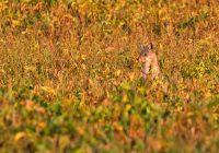 Well Hidden Coyote