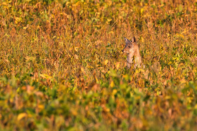 Well Hidden Coyote