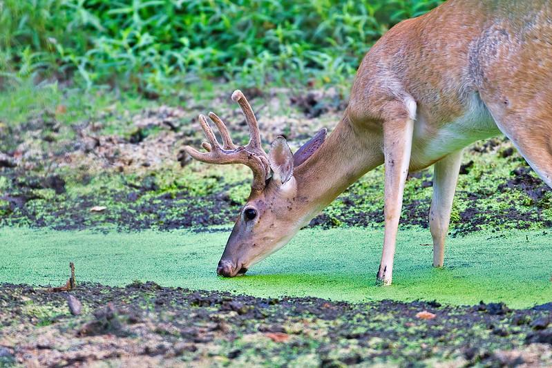 Whitetail Buck And Duckweed