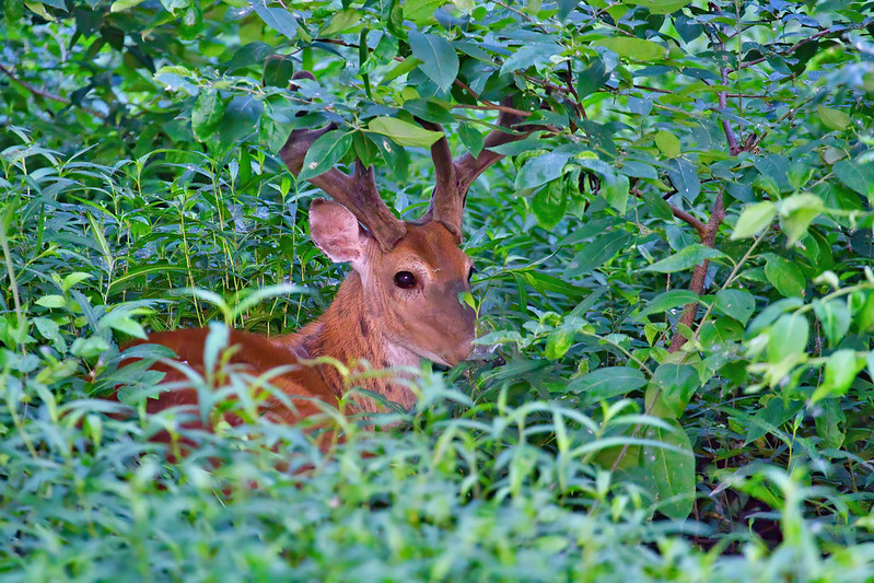 Whitetail Buck Bedded In Thick Vegetation