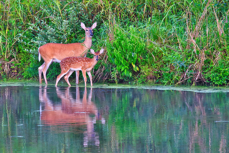 Whitetail Doe And Fawn Reflection