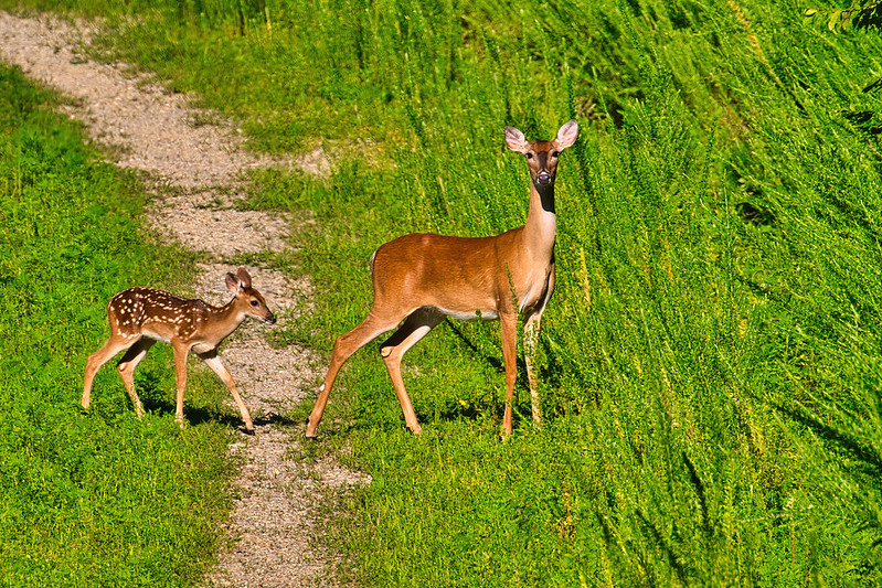 Whitetail Doe and Fawn Crossing County Road