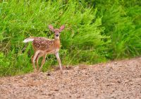Whitetail Fawn Crossing Dirt Road