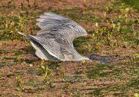 Yellow crowned Night Heron Under Water