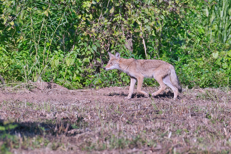 1 Of 4 Coyote Pups