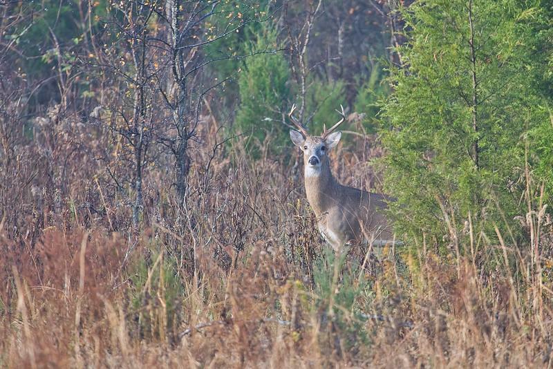 5 Point Buck
