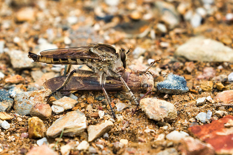 Assassin Fly With A Grasshopper
