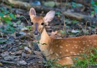 Bedded Whitetail Fawn