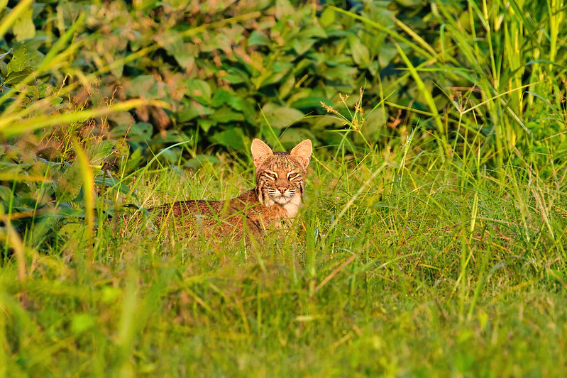Bobcat In Tall Grass