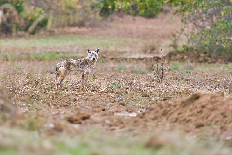 Coyote At Fort Chaffee