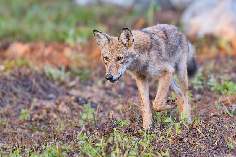 Coyote Pup Mousing # 3