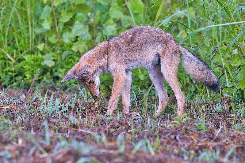 Coyote Pup Mousing