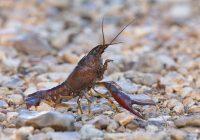 Crayfish Crossing Road