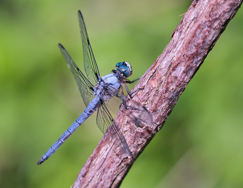 Dragonfly On A Vine