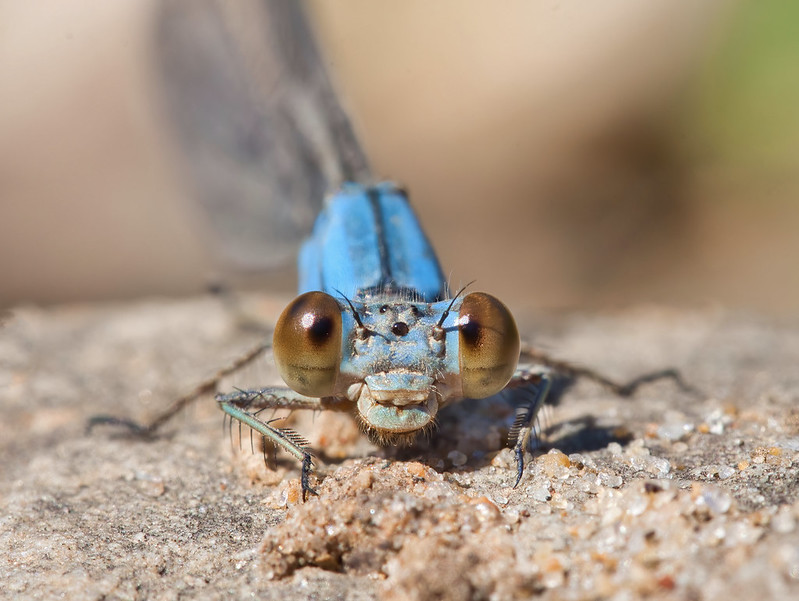 Face To Face With Damselfly