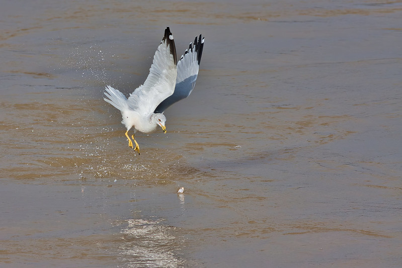 Ring-billed Gull Zeroing In On A Shad