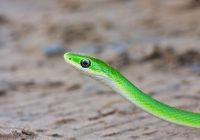 Rough Green Snake In Sand