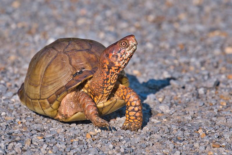 Three-toed Box Turtle Crossing Road