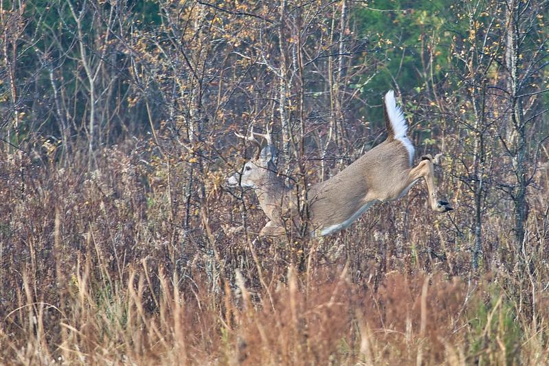 Whitetail Buck Running Through Brush