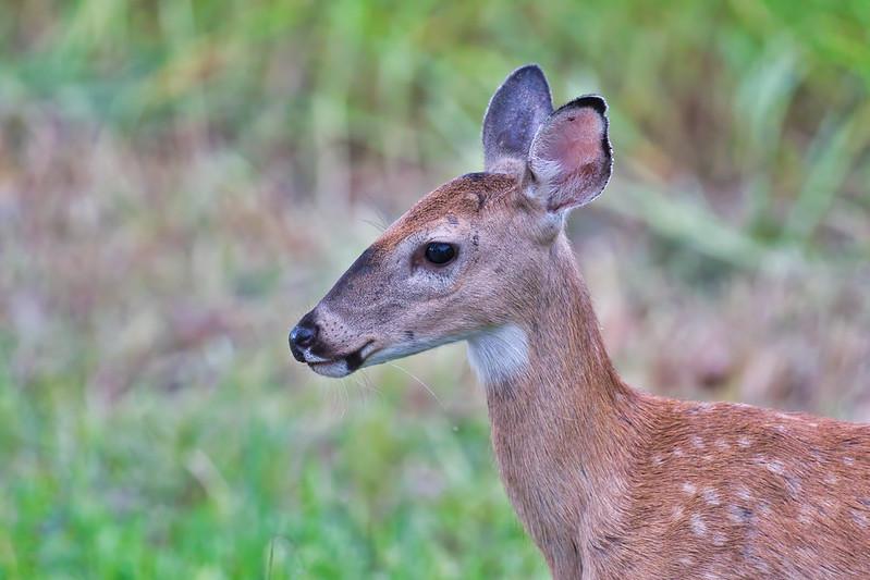 Whitetail Fawn Buck Closeup