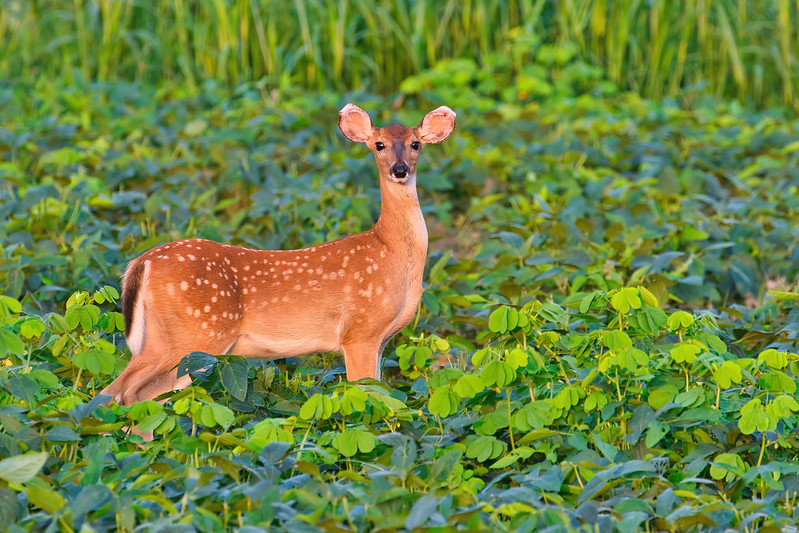 Whitetail Fawn With Bent Ear Tips
