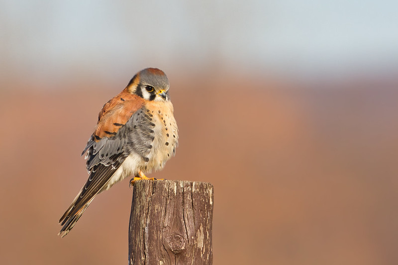 American Kestrel On A Post
