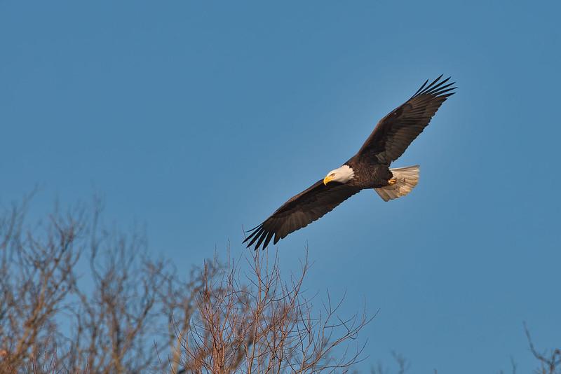 Bald Eagle Flying Over Treetops