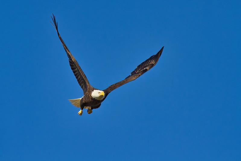 Bald Eagle Flying Overhead