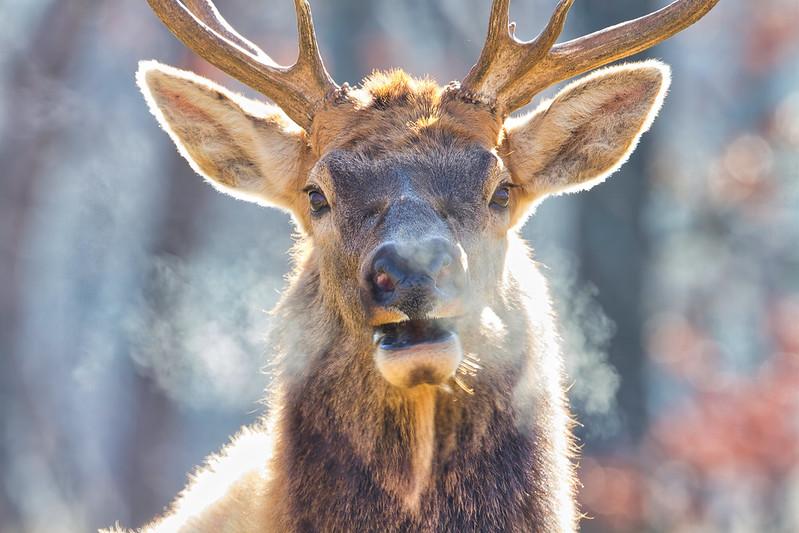 Bull Elk Breath