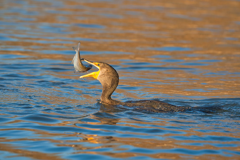 Double-crested Cormorant Tossing A Fish