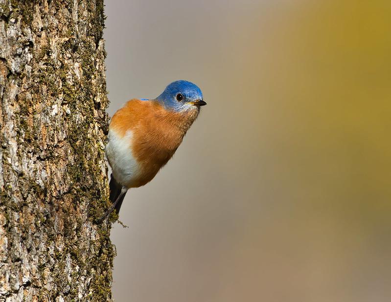 Eastern Bluebird On Side Of Tree
