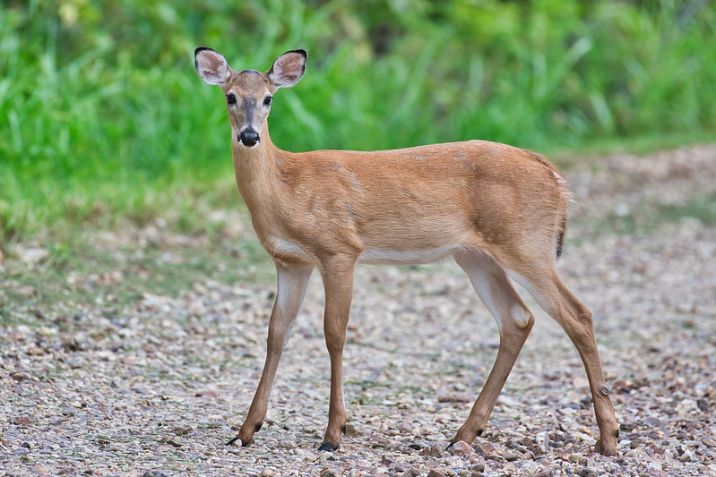 Fawn Spots Almost Gone