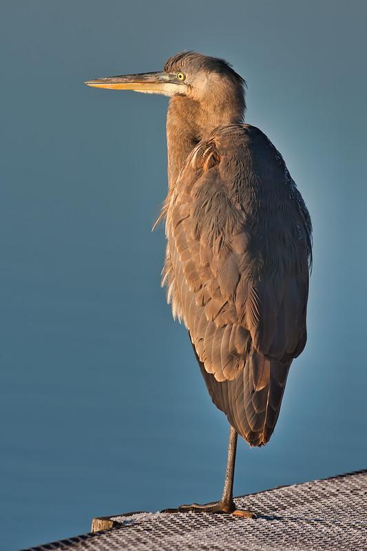 Great Blue Heron Standing On Metal Dock