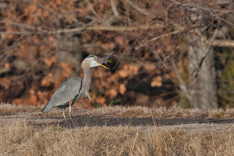 Great Blue Heron Swallowing Large Fish 2