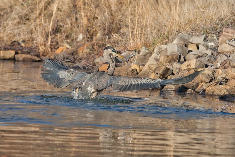 Great Blue Heron Taking Fish To Shore
