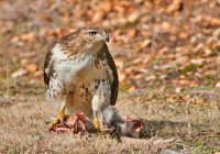 Hawk Eating Opossum