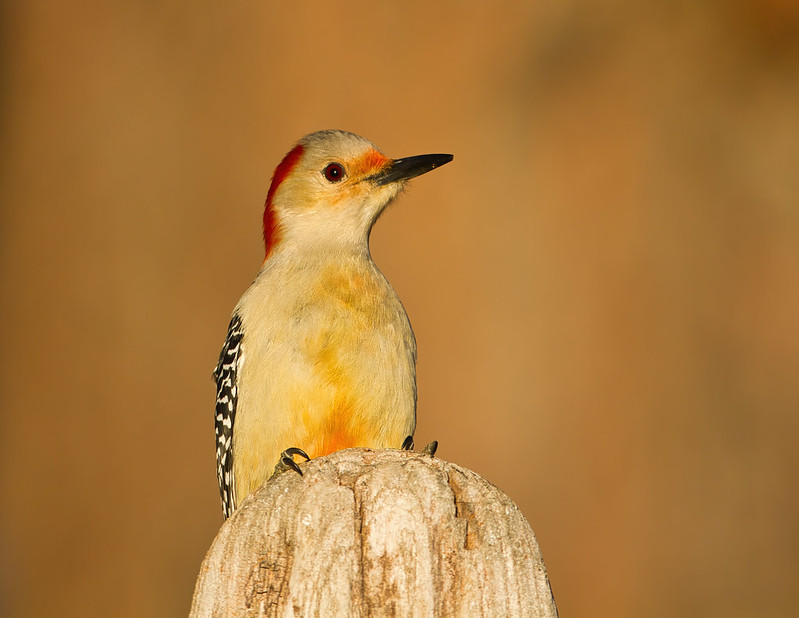 Red-bellied Woodpecker On Driftwood