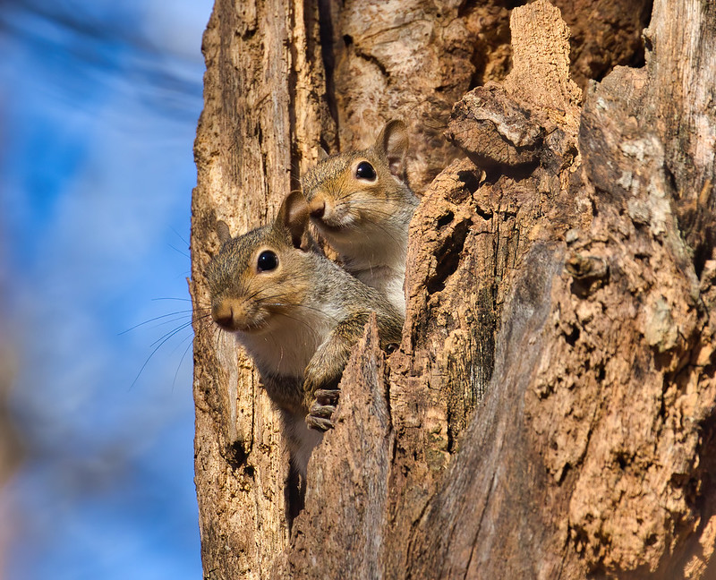 Two Gray Squirrels