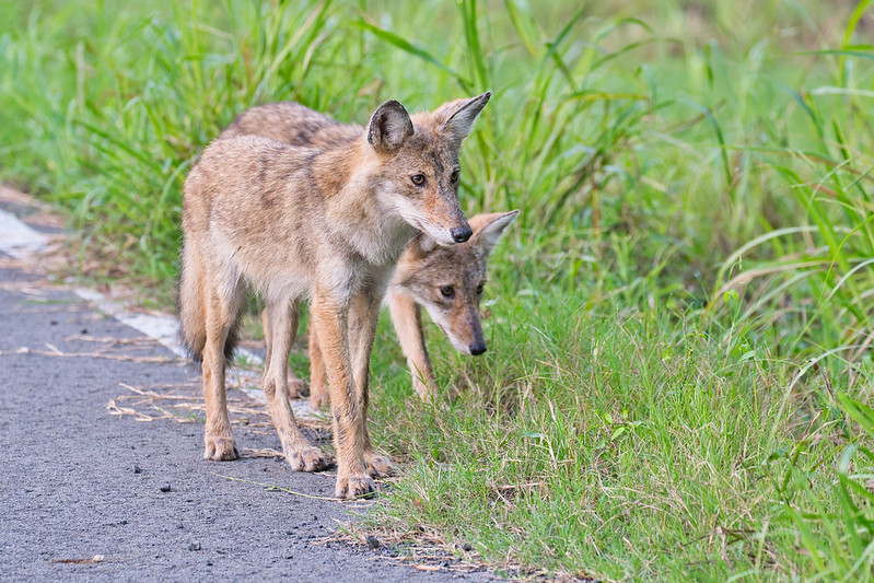 Two Young Coyotes