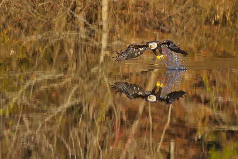 Bald Eagle Grabs Fish
