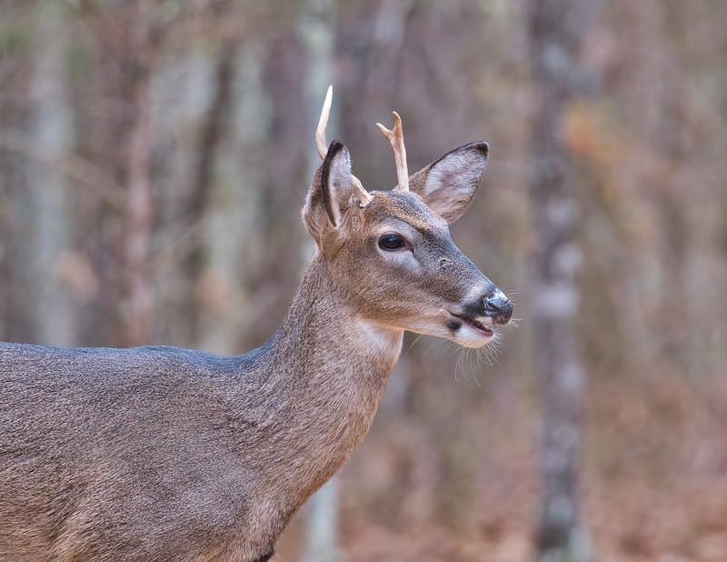 Three Point Whitetail Buck