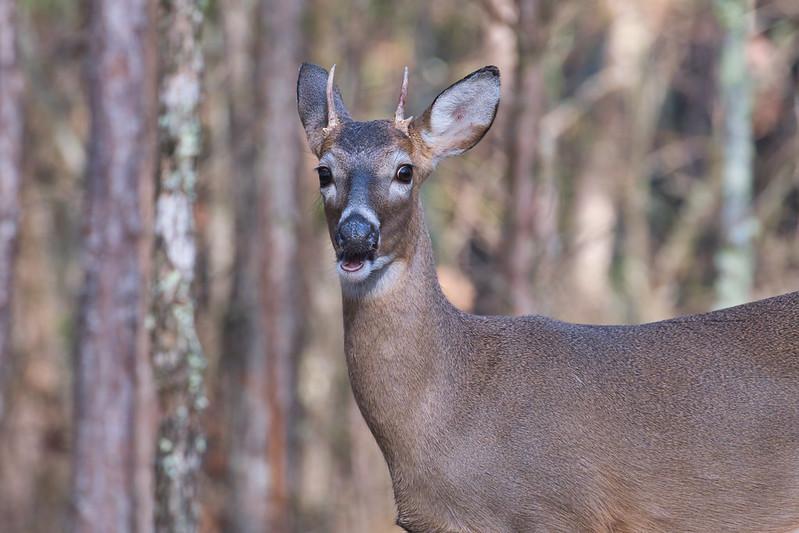 Whitetail Spike Arkansas