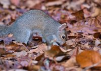 Gray Squirrel Burying Nuts