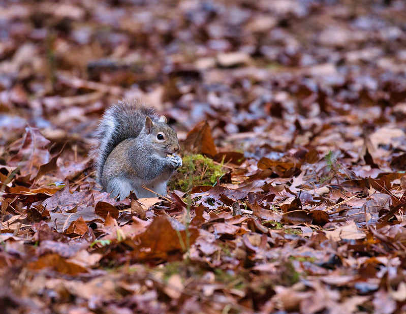 Gray Squirrel Eating