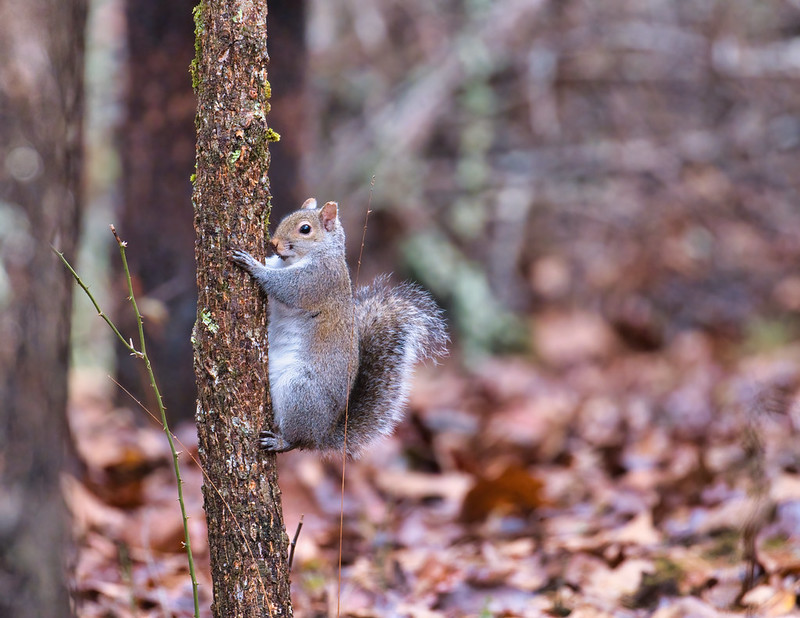 Gray Squirrel On Tree