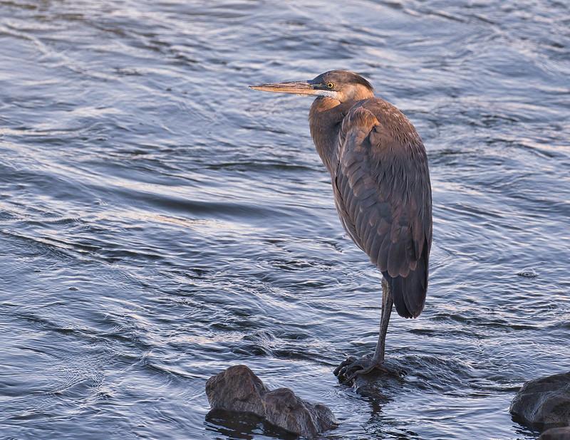 Great Blue Heron At Kerr Dam