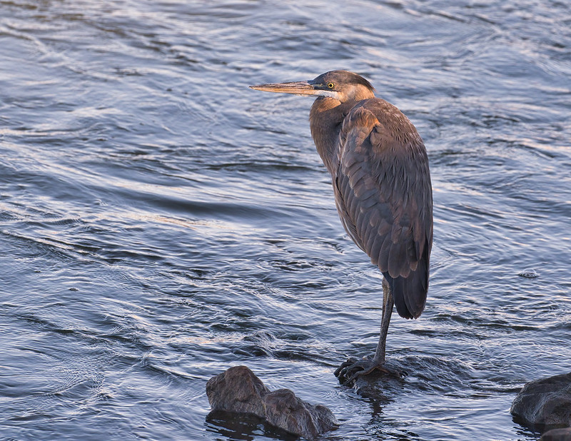 Great Blue Heron At Kerr Dam
